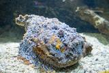steinfisch, drachenkopf, skorpionfisch