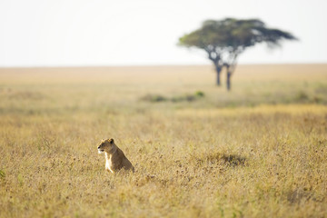 Wild lioness sitting in tall grass in East Africa © Mat Hayward
