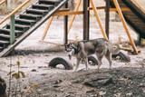 siberian husky dog on agility ground - 220064839