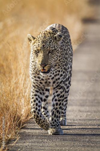 Fototapeta Leopard in Kruger National park, South Africa