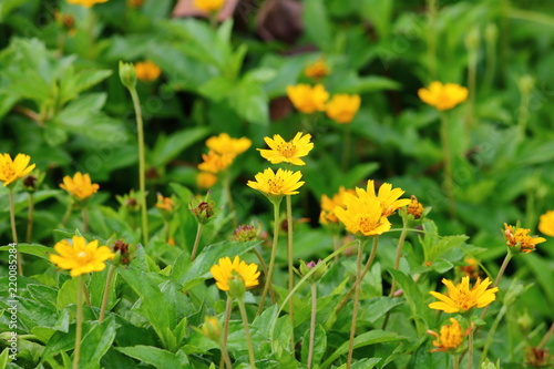 beautiful singapore dailsy flowers fresh in garden