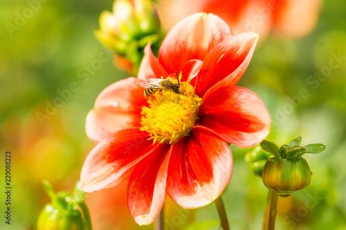 Weiß-rote Dahlie wird von Biene bestäubt.