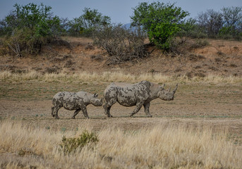 Black Rhinoceros Mother And Calf