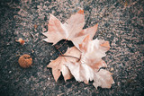Fallen oriental plane leaves and fruit - 220099217