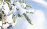 Spruce tree branch with snow in winter - 220099219