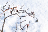 Branches of wild rose with dry fruits - 220099238