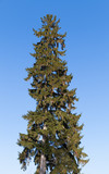 Tall old spruce tree on blue sky background - 220099244