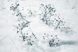 Dry flowers on snowdrift in winter season - 220099247