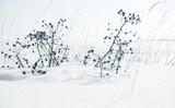 Dry flowers on a snowdrift in winter season - 220099248