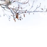 Birch tree branches in winter, close-up - 220099250