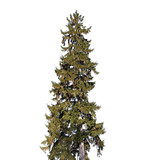 Tall old spruce tree isolated on white - 220099251