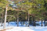 Coniferous forest in winter - 220099261
