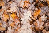 Fallen oak tree leaves lay on ground in park - 220099266
