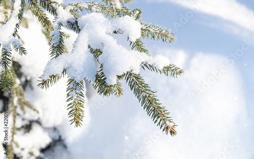 Foto Murales Spruce tree branch with snow in winter