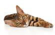 Bengal kitten resting