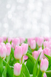 Beautiful pink tulips in garden, Rayong Thailand.