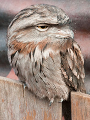Tawny frogmouth sitting on fence