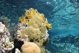 Corallenbock mit Wasserspiegelung
