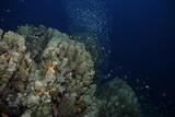 Korallenblock mit Glaßfischen