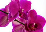 Orchidee © Foto Gerth