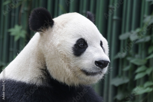 Fototapeta Close-up Giant Panda 's Face, Beijing, China
