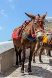 Santorini Greece Donkey and Mules Path.