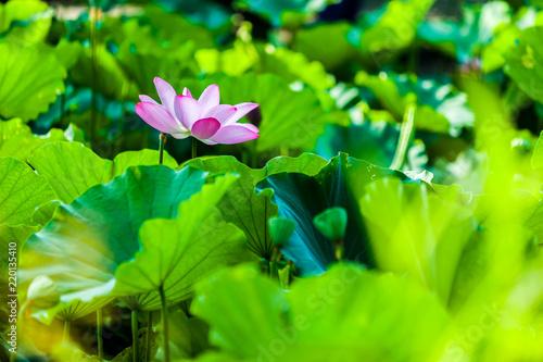 Leinwandbild Motiv Beautiful  Da Helian lotus in Taipei Botanical Gardentaipei taiwan