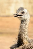 Head shot of an ostrich (struthio camelus) - 220138240