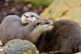 Portrait of two Asian small clawed otters cuddling - 220138424