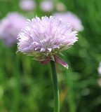 Chive flower close-up - 220138440