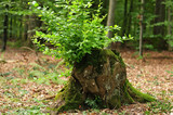 fresh green branches growing out of tree stump - 220143876