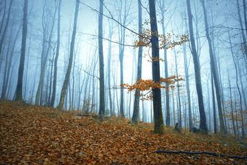 Foggy autumn season forest tree landscape background. © robsonphoto