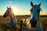 Impressionen aus der Camargue - Die weißen Pferde im Morgenlicht - 220151283