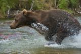 brown bear in full pursuit - 220157059