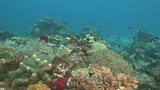 scuba diving past hard corals at rainbow reef on the somosomo strait in fiji - 220175022