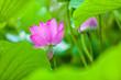 Leinwandbild Motiv Beautiful Da Helian lotus in Tode Park taipei taiwan