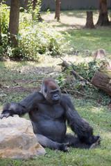 Gorilla chillin