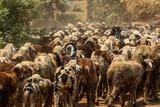 goats sheep closeup road group fields  - 220193286