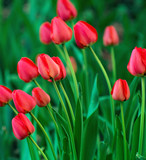 Beautiful red tulip background - 220194878