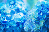 hydrangea flowers close up - 220195000