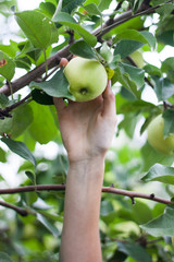 Woman picking a ripe apple from the tree.