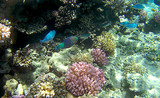 Reef fish coral underwater in Ras Mohammed, Egypt, Red Sea