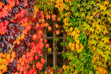 autumn is coming. wall in colored ivies leaves with old window in center - 220211236