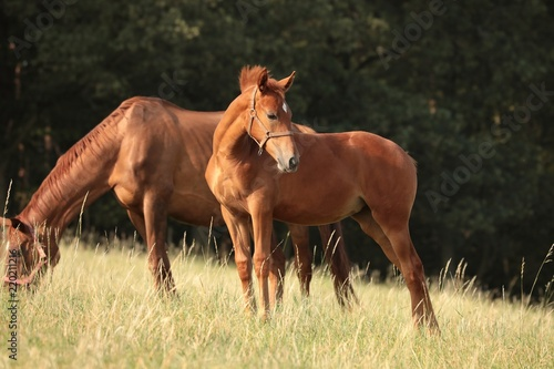 Young horse in the pasture © joda