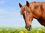 Brown horse head isolated on the meadow with flowers - 220212852
