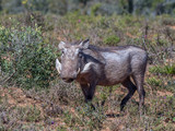 The common warthog is a wild member of the pig family found in sub-Saharan Africa image in landscape format - 220219280