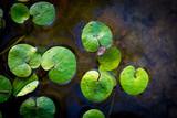 driftweeds leafs on water - 220231230