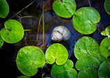 green leafs and shell on lake water - 220231652