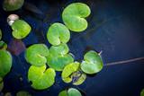small green leafs in lake water - 220231670