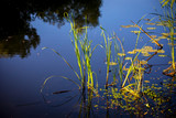 green cane in blue lake water - 220231848